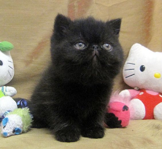 Exotic shorthair, Search and Google on Pinterest