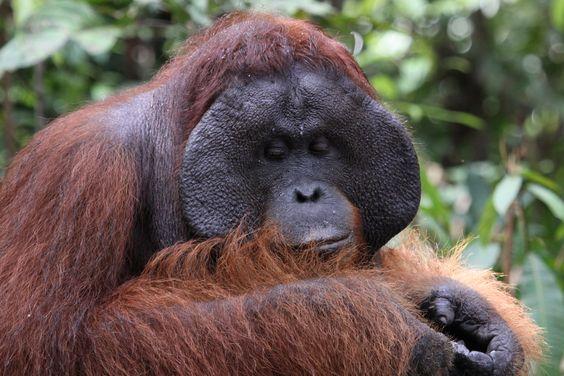 Oeran oetan jungle Borneo