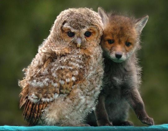 Friends in unlikely places. Owl and baby fox! Borrowed from tumblr.
