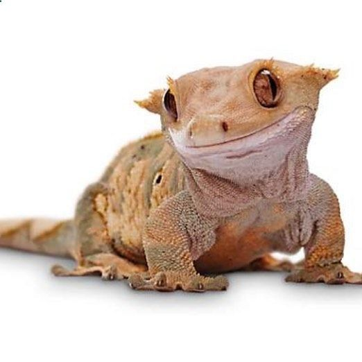 CRESTED GECKO!!!! #crestedgecko #reptiles #gecko (With images ...