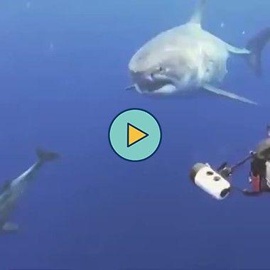 acariciando um enorme tubarão branco