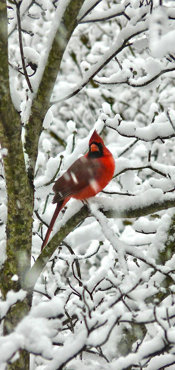 A cardinal in the snow -