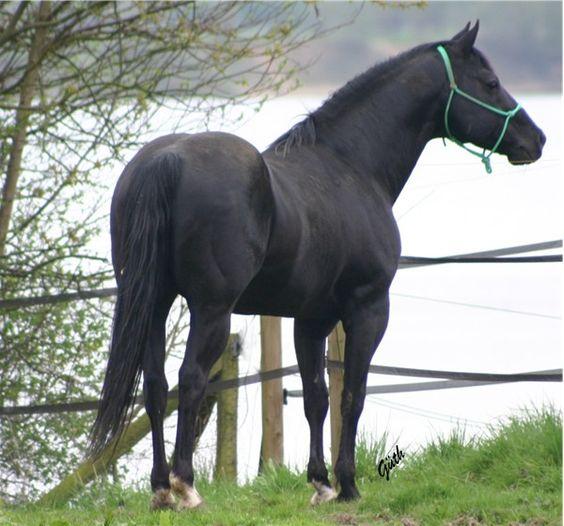 Quarter Horse Black Quarter horses, Horses...