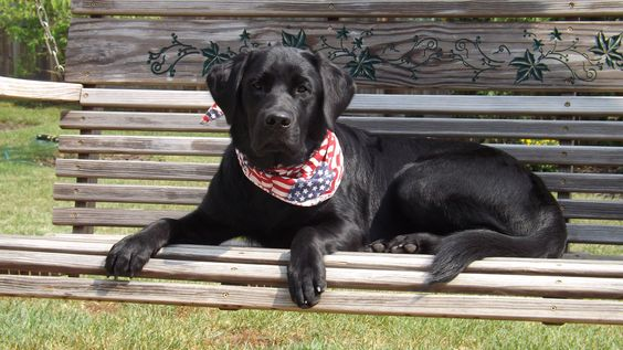 Canine Companions for Independence (CCI):  8 months old, puppy in training - Marshall