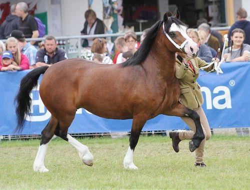 Photo Archive Royal Welsh Show Sec C - Mare 2015 : Rainhill Welsh Cobs