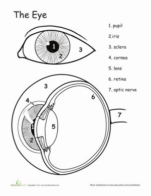 Printables Structure Of Human Eye Worksheet awesome anatomy eye see a well coloring and this page is all about the human makes handy