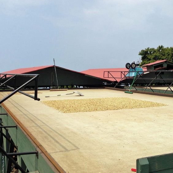 Coffee beans drying at Greenwell Farms - Kealakekua, HI