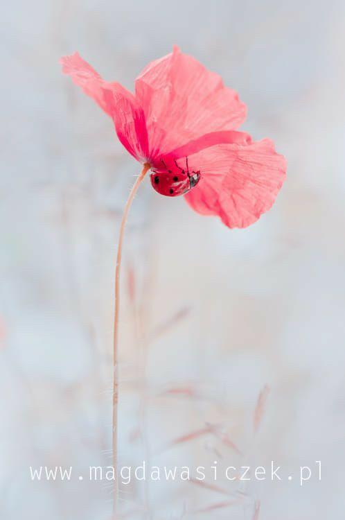 Pin By Sylwia Barczykowska On Biedronki Flowers Photography Beautiful Flowers Flowers