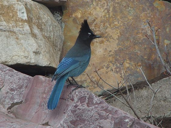 The Steller's Jay is a much deeper blue than the Blue Jays we get here at the B&B.  These guys are such characters and we love it when they pay us a visit, usually in groups. @Blue Mountain Bed and Breakfast