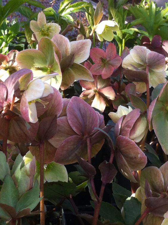 An assortment of Helleborus that are now on our benches!
