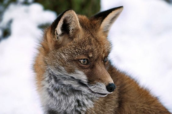 Red fox in winter by Wolfgang von Vietinghoff on 500px