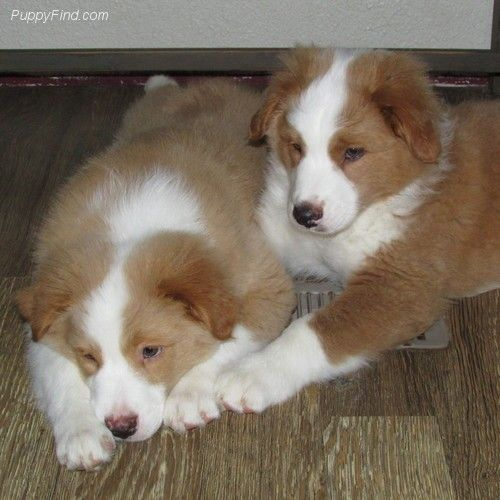 Australian Shepherds Yellow Merles Yes This Color Is A Merle And Should Not Be Bred With A Blue Australian Shepherd Australian Shepherd Dogs Shepherd Puppies