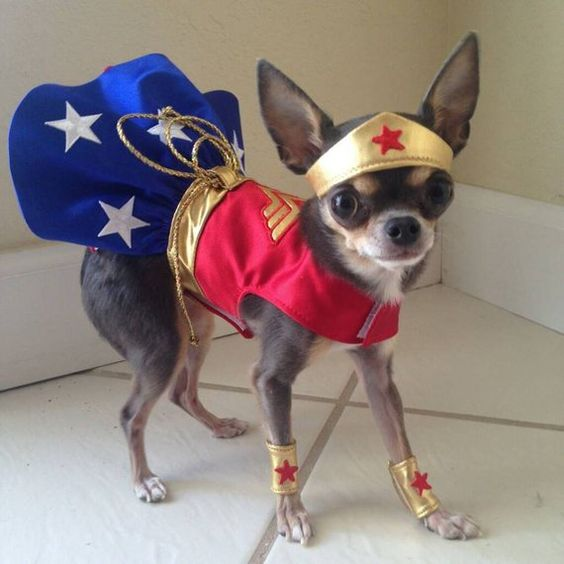 Tiny but mighty Ivy is ready to fight crime in her custom fit wonder woman ensemble. Satin red bodice and blue skirt with embroidered white stars and a blue netting underskirt. Metallic gold crown and cuffs accented with a red star. Truth rope included. Velcro closures at the neck and