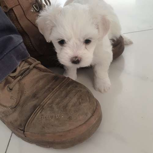 3 Gorgeous Maltese Pups For Sale In 2020 Puppies For Sale Dog Breeder Puppies