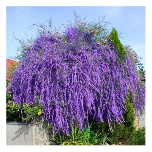 Zarnowiec Miotlasty Przepiekny Ozdobny Krzew Cud Flower Garden Flowers Plants