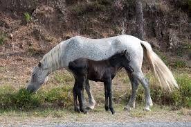 Resultado de imagem para cavalos selvagens do geres