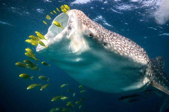 A whale shark opens its mouth. Very impressive. Un requin-baleine ouvre sa gueule. Très impressionnant.