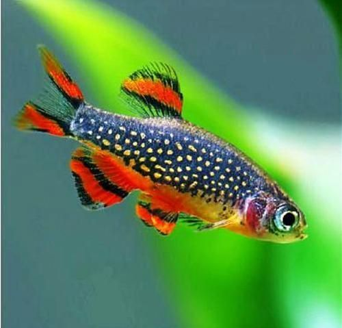 Galaxy Rasbora I Would Like A School Of At Least 12 Of These Little Guys There Is No Prettier Aquarium Fish Tropical Fish Aquarium Tropical Freshwater Fish