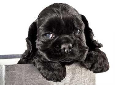 Black cocker spaniel puppy in container