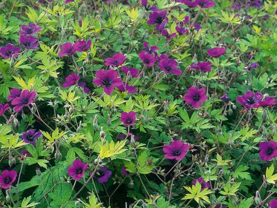 Geranium macrorrhizum cranesbill provides a weedproof for Easy maintenance perennials