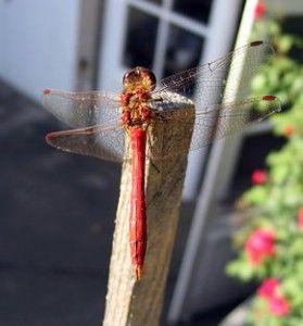 ….. ET DU CASSE-TÊTE.  Dans le fond du marécage aux eaux tièdes vivent les larves de libellules. Elles en sont à la première étape de leur vie. Le soleil de juillet réchauffe les eaux du marais et les larves ressentent un envie irrépressible de monter vers la surface de l'eau. Et une fois montées à la surface, les larves connaissent....