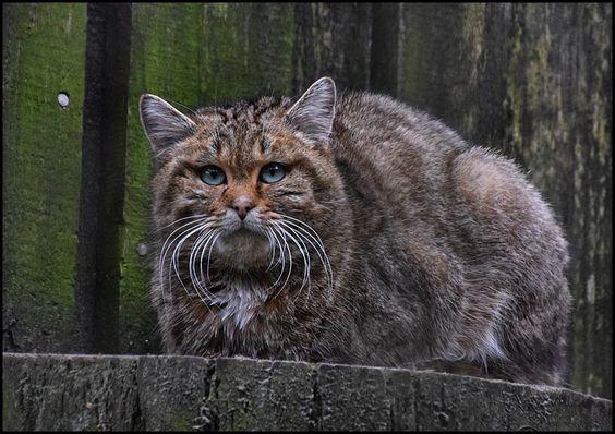 Wildkatzenkater... auf seinem Lieblingsplatz...   Da hat er einfach den besten Überblick...wenn er denn mal wach ist:-)   WP Lüneburger Heide/ Nindorf