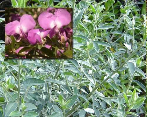 Podalyria calyptrata  	    Sweetpea Bush, Keurtije  	    Shrub to 3 m with grey-green leaves; scented lilac sweetpea flowers in Spring
