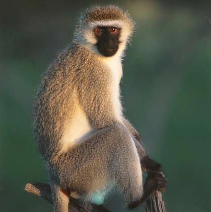 The vervel monkey is currently listed as a vulnerable species on Appendix Two of CITES (Convention for International Trade in Endangered Species). #danger #animal #creature #life #velvet_monkey #primate #wildlife