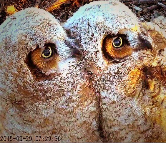 Great Horned Owlets, Marcn 29, 2015