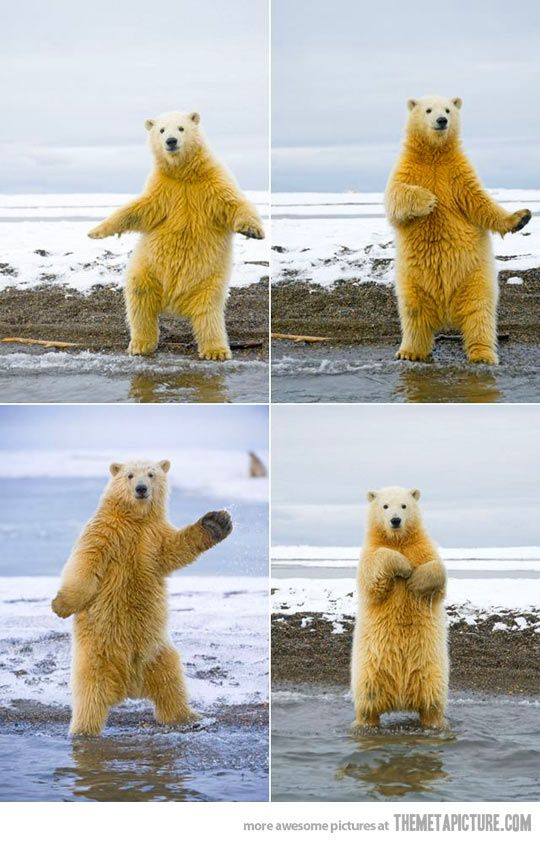 This polar bear can dance… we should be dance partners. He matches my moves.: