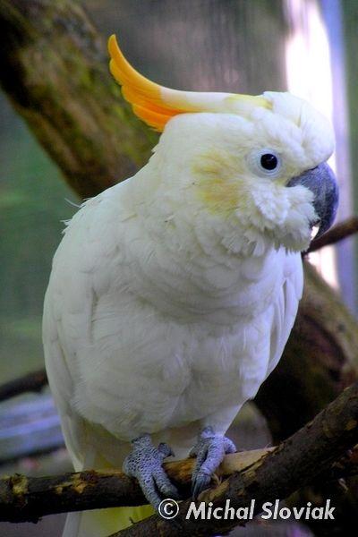 Orange Cockatoo