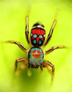 Colorful jumping spider - photo#50