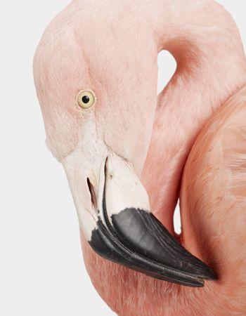 ©Sharon Montrose_Animal Photographer 106: Pinkflamingo, Pink Flamingos, Flamingo S, Flamingo Close, Birds Flamingos, Flamingos Theanimalprintshop