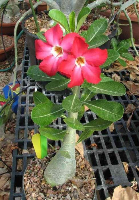 Adenium Obesum Rosa Del Deserto Semilandia Rosa Del Desierto