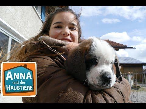 Bernhardiner Information Fur Kinder Anna Und Die Haustiere Youtube In 2020 Bernhardiner Haustiere Wilde Tiere