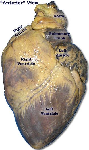 Multiple good visuals for pig heart dissection teaching for Exterior of heart diagram