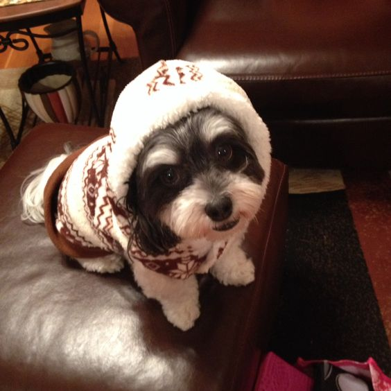 Maddie (Havanese) in her new sweater