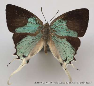 Long-tailed sapphire butterfly