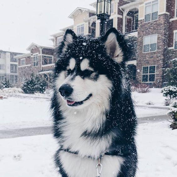 Giống chó Alaskan Malamute trên thế giới