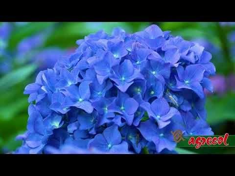 Co Zrobic Aby Hortensja Ogrodowa Kwitla What To Do To Make The Garden Hydrangea Bloom Youtube Hydrangea Bloom Hydrangea Garden Flowers