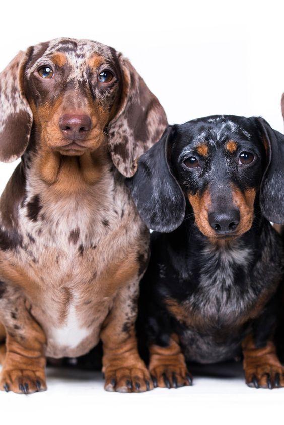 Dachshund Products Apparel And Gifts Dachshund Dog Dapple