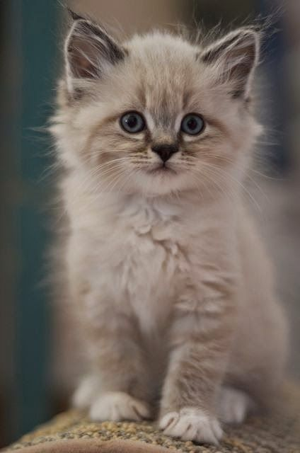 5 Most Friendly Cat Breeds in The World