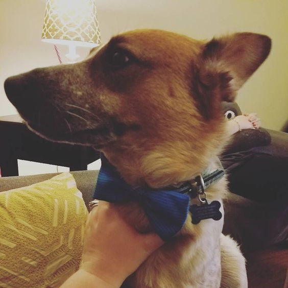 Mommy got me a present. #hobbsthedog #dogbowtie by caitlin.rushing