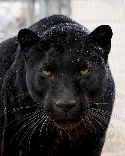 Black panthers are my favourite animals, they are truly beautiful.