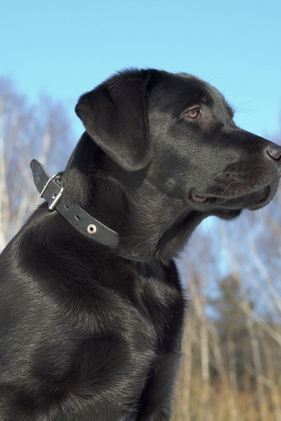 If You Love Labradors Visit Our Blog Labrador Labradorretriever Labradorcentral Retriever Labradors Labrador Labrador Retriever Labrador Retriever Facts