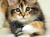 Rosa del deserto Maine coon  Beautiful girl, Kitten