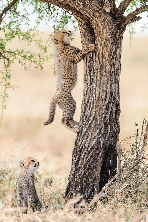 Cheetah cub climb Acacia tree, Ndutu, Ngorongoro Conservation Area, Tanzania by Elliott Neep Wildlife Photography