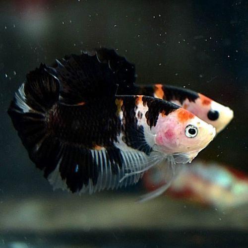 Hmpk Betta Fish 7 Male Betta Fish Fish Betta