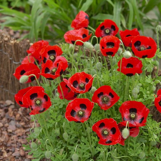 Poppy 'Ladybird' - RHS Garden Explorers Children's Seeds - Hardy Annual Seeds - Thompson & Morgan