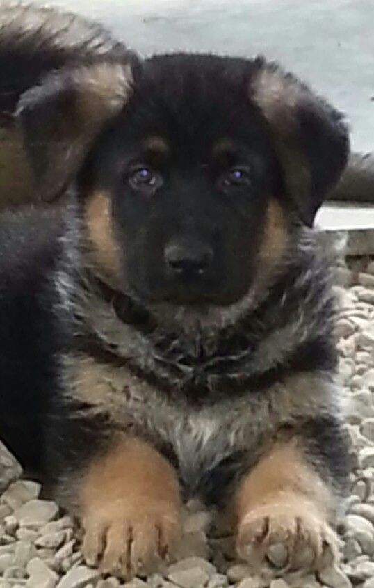 6 week old german shepherd puppies 6 week old german shepherd puppy from guardian angel 6047